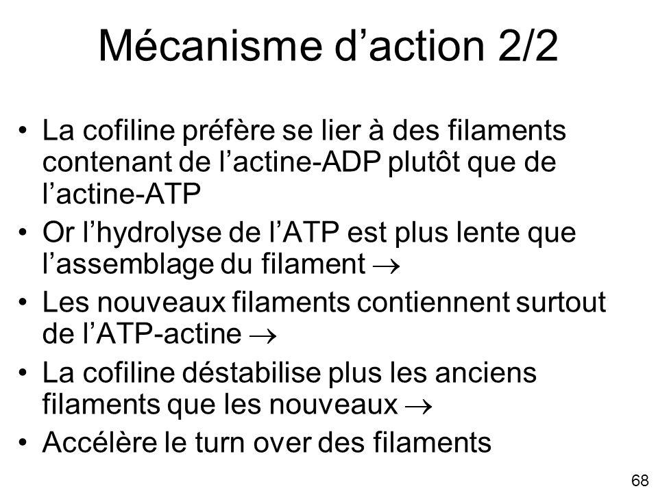 Mécanisme d'action 2/2 Lundi 22 octobre 2007. La cofiline préfère se lier à des filaments contenant de l'actine-ADP plutôt que de l'actine-ATP.