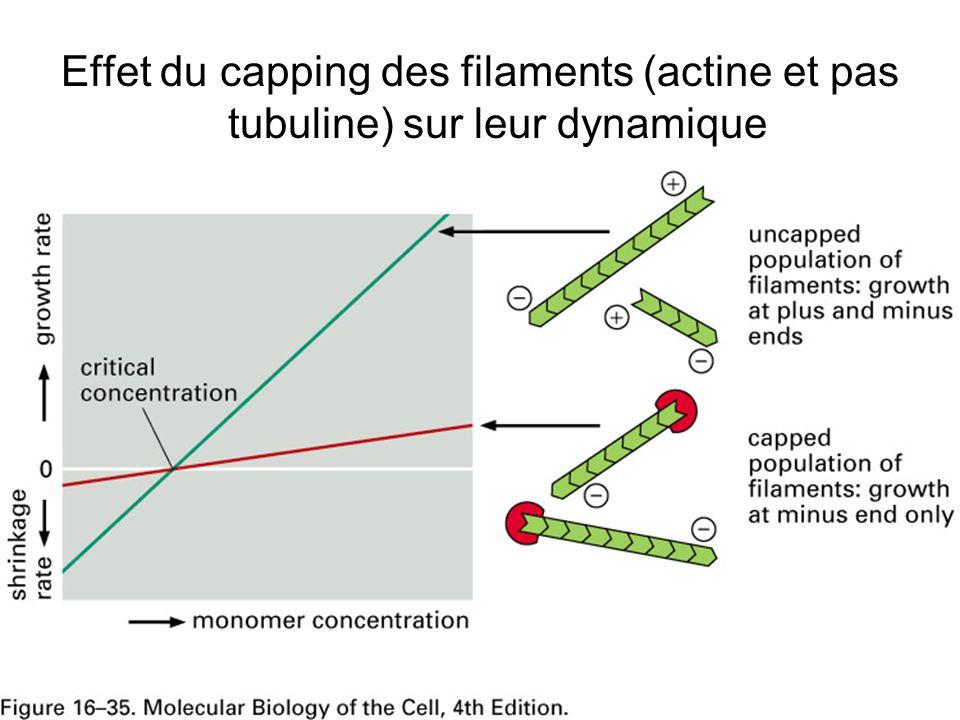 Lundi 22 octobre 2007 Effet du capping des filaments (actine et pas tubuline) sur leur dynamique. Fig16-35.