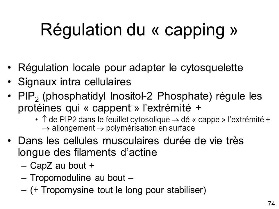 Régulation du « capping »
