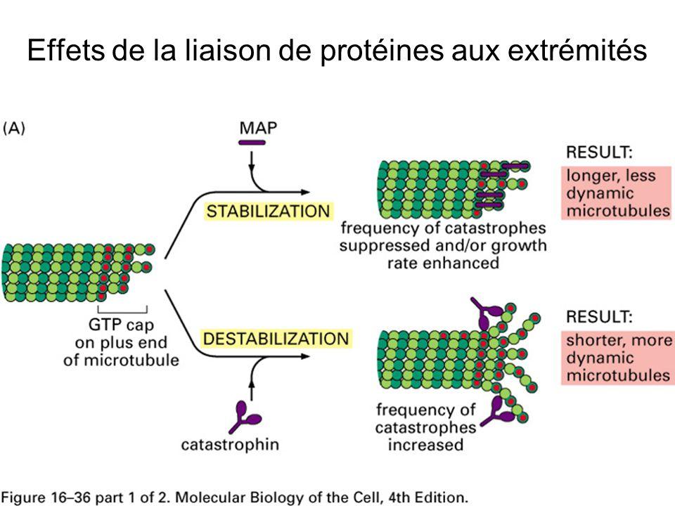 Effets de la liaison de protéines aux extrémités