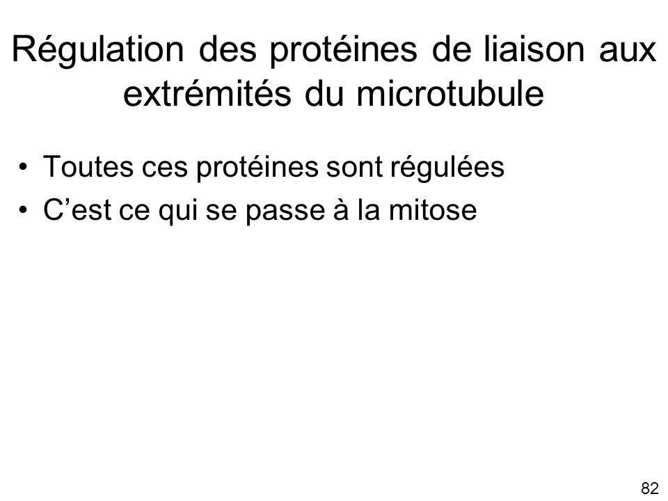 Régulation des protéines de liaison aux extrémités du microtubule
