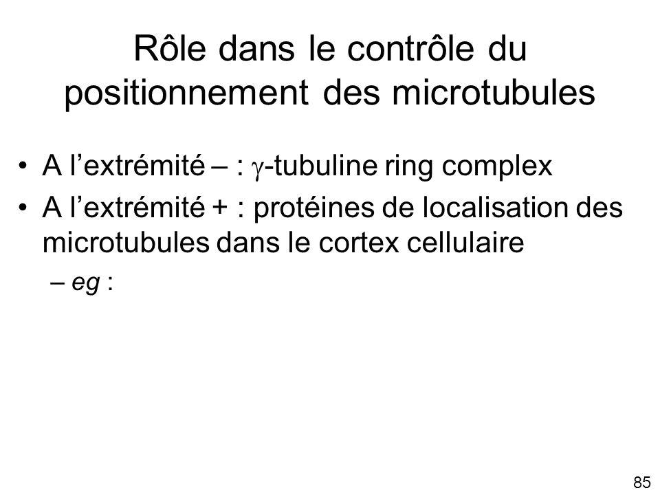 Rôle dans le contrôle du positionnement des microtubules