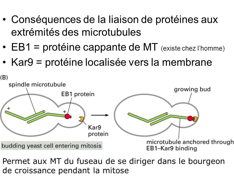 Lundi 22 octobre 2007 Conséquences de la liaison de protéines aux extrémités des microtubules. EB1 = protéine cappante de MT (existe chez l'homme)