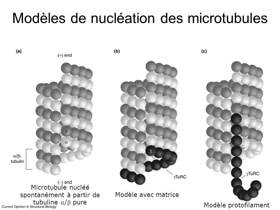 Moritz,M2001(fig1) Modèles de nucléation des microtubules