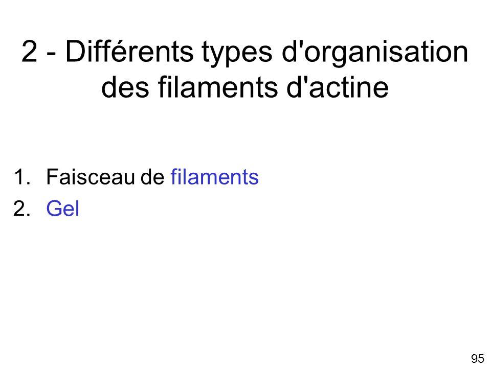 2 - Différents types d organisation des filaments d actine