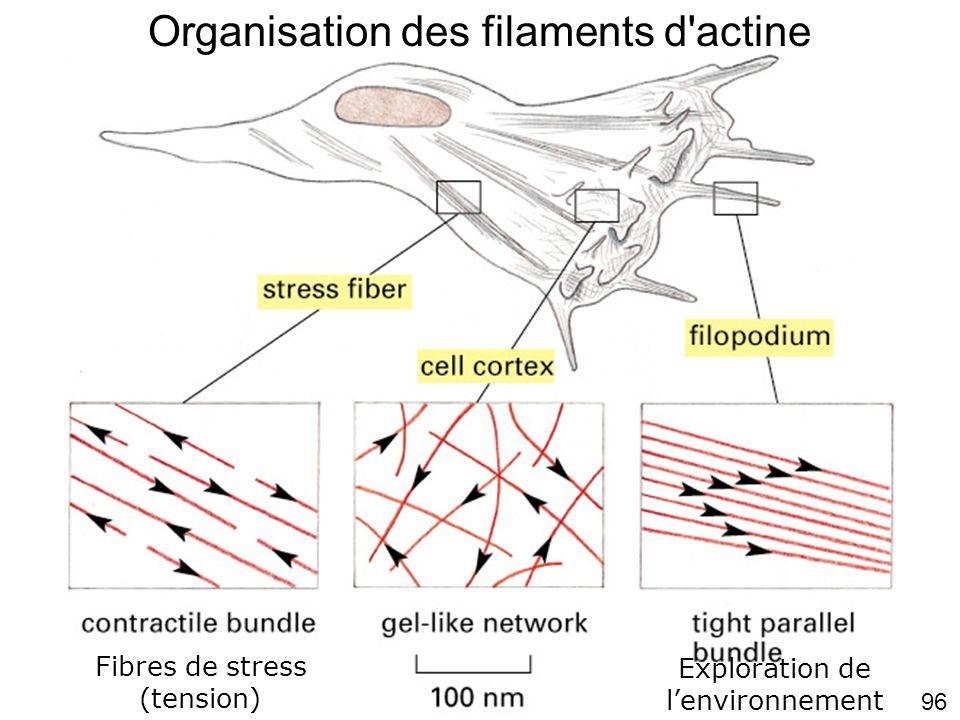 Fig16-38 Organisation des filaments d actine