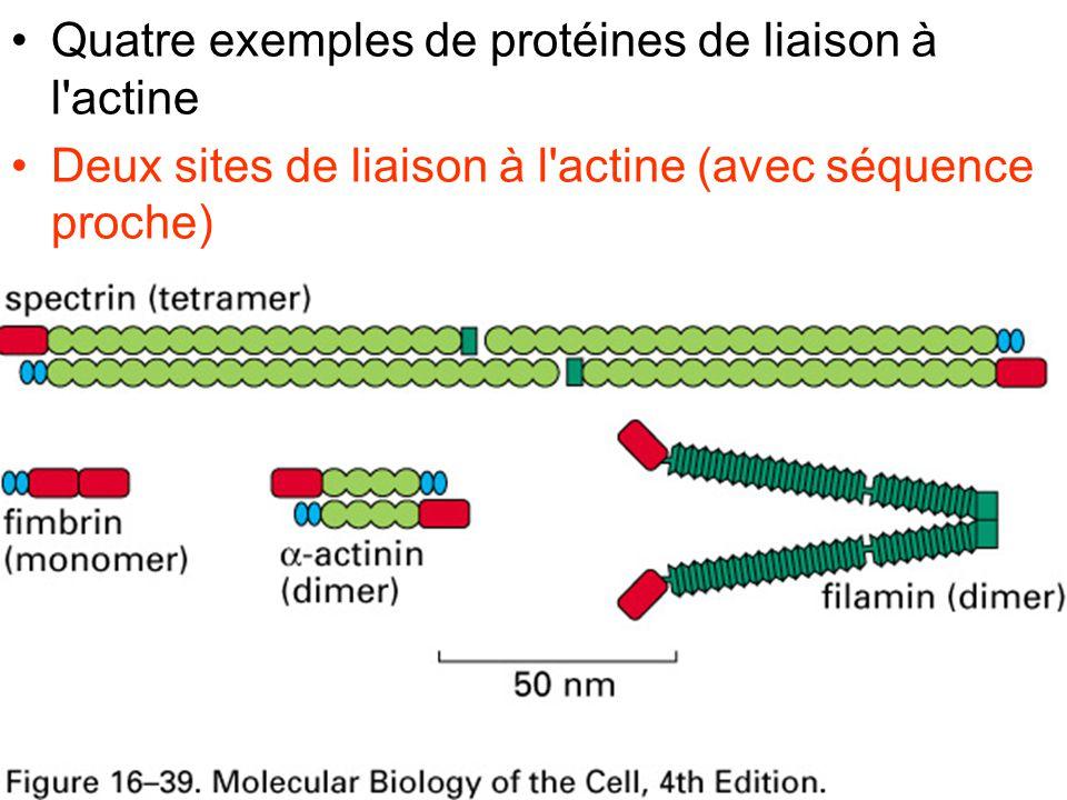 Fig16-39 Quatre exemples de protéines de liaison à l actine