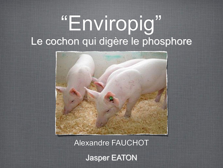 Le cochon qui digère le phosphore