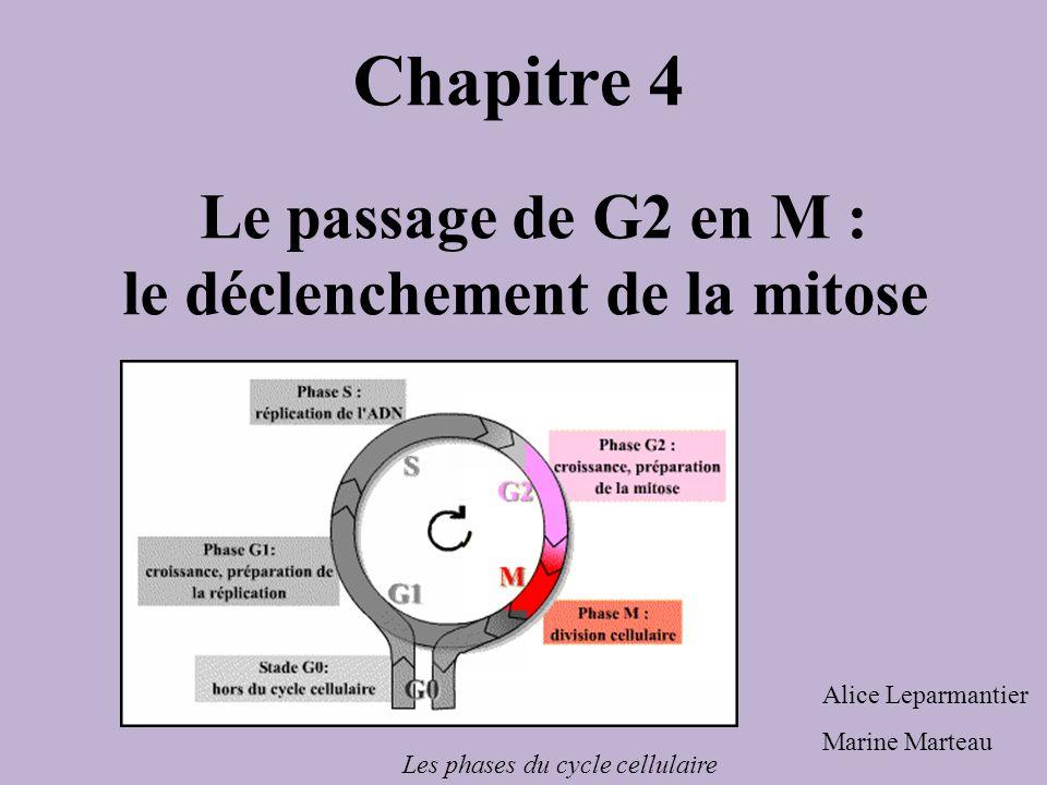 Le passage de G2 en M : le déclenchement de la mitose