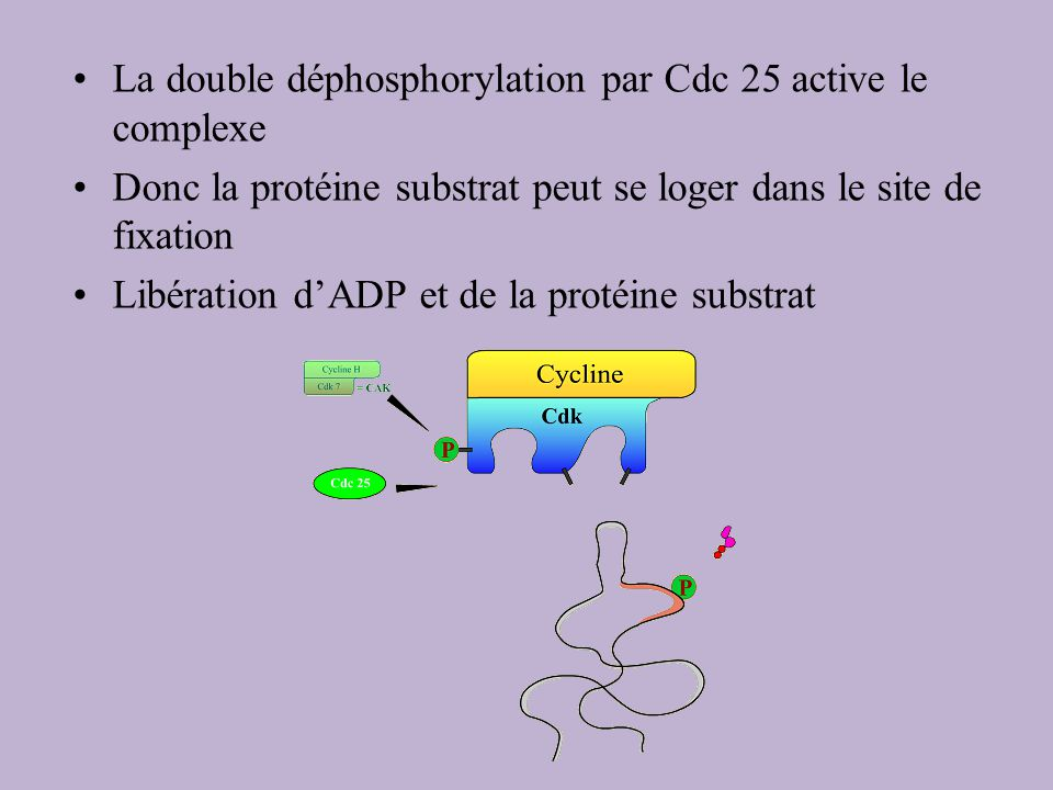 La double déphosphorylation par Cdc 25 active le complexe