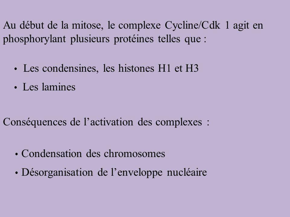 Conséquences de l'activation des complexes :