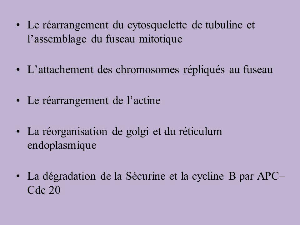 Le réarrangement du cytosquelette de tubuline et l'assemblage du fuseau mitotique