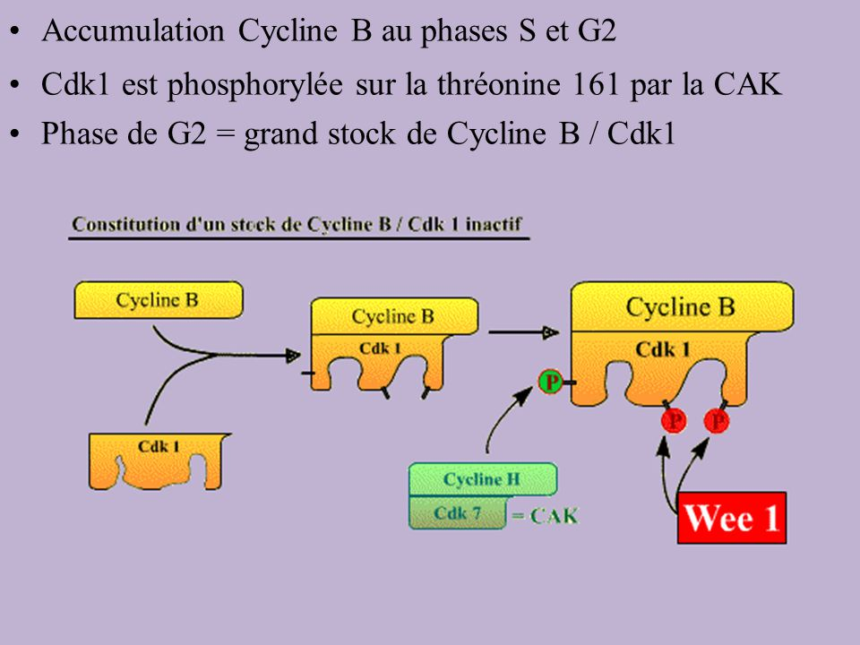 Accumulation Cycline B au phases S et G2