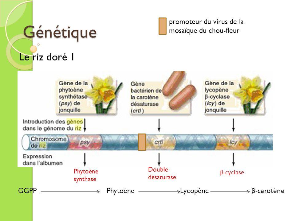 Génétique promoteur du virus de la mosaïque du chou-fleur. Le riz doré 1. Double désaturase. Phytoène synthase.
