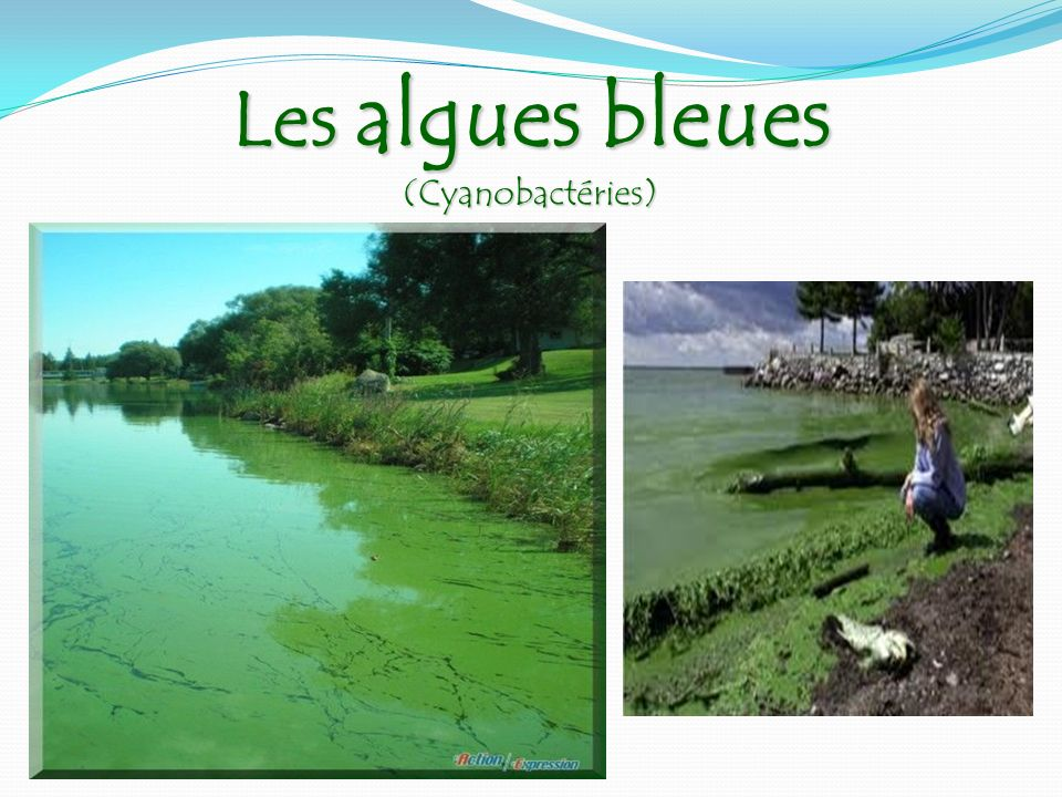 Les algues bleues (Cyanobactéries)