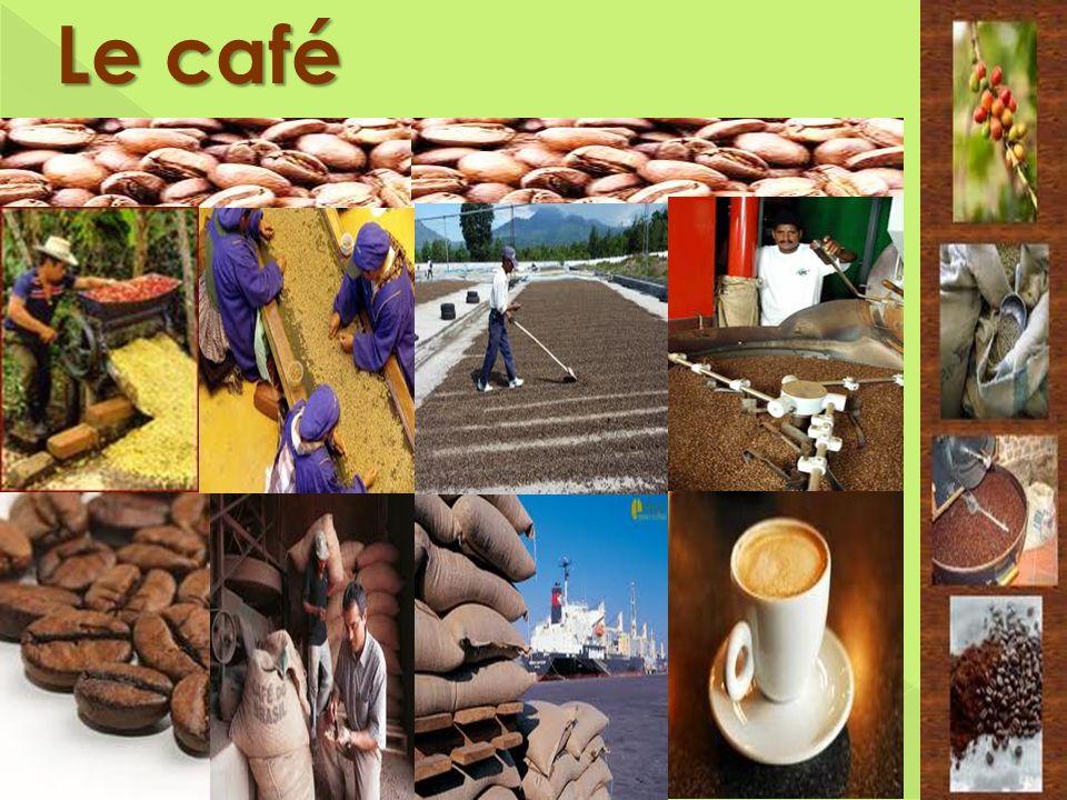 Le café Cueillis manuellement, les fruits sont par la suite nettoyés, puis les graines sont libérées de leur enveloppe.