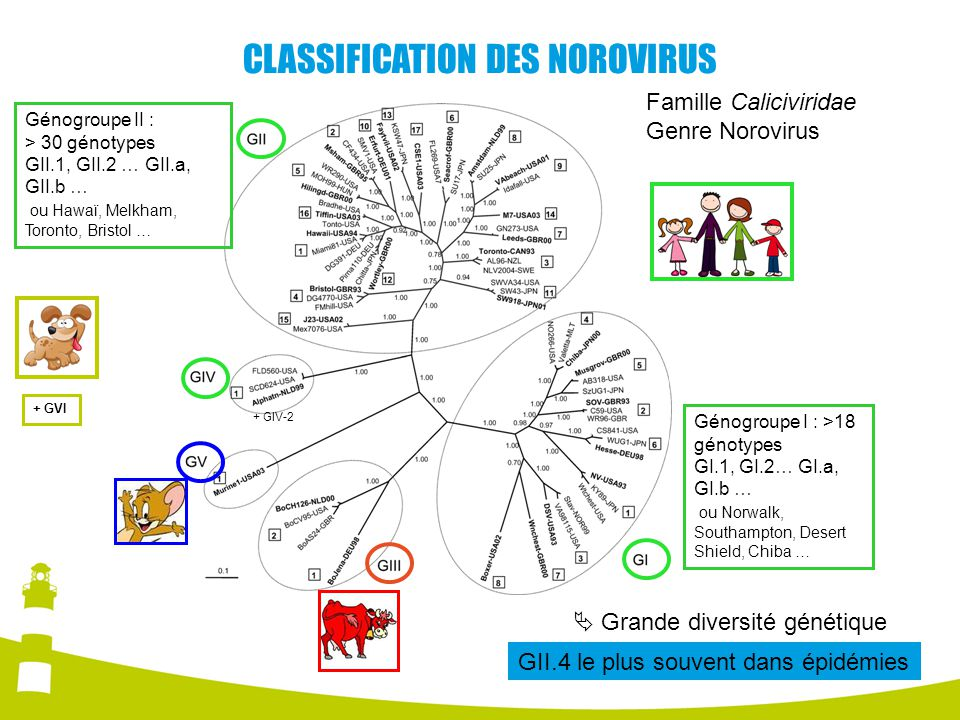 CLASSIFICATION DES NOROVIRUS