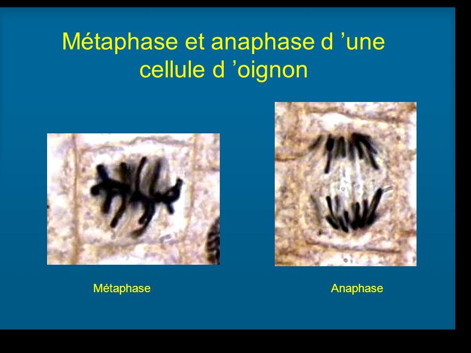 Métaphase et anaphase d 'une cellule d 'oignon