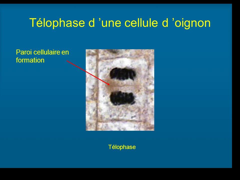 Télophase d 'une cellule d 'oignon