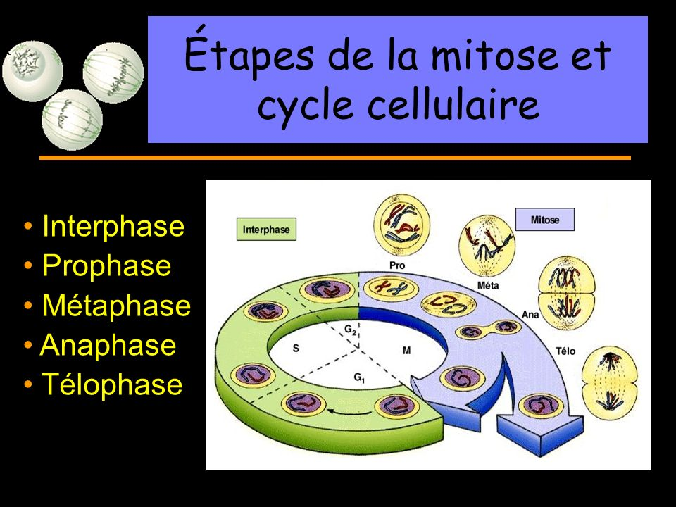 Étapes de la mitose et cycle cellulaire