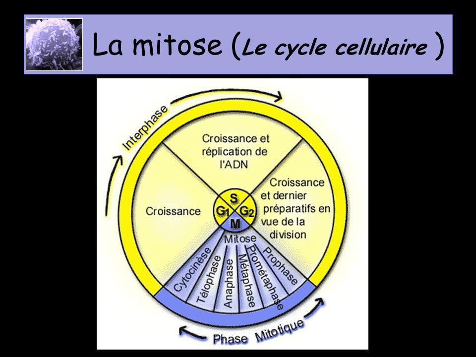 La mitose (Le cycle cellulaire )