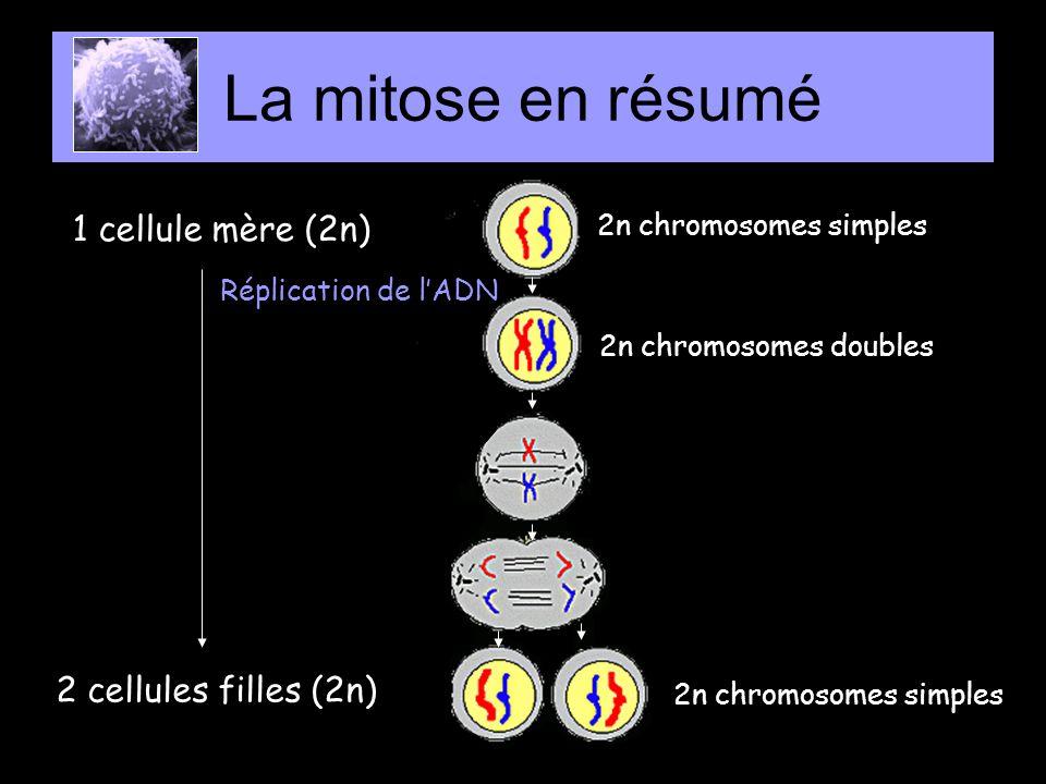 La mitose en résumé 1 cellule mère (2n) 2 cellules filles (2n)