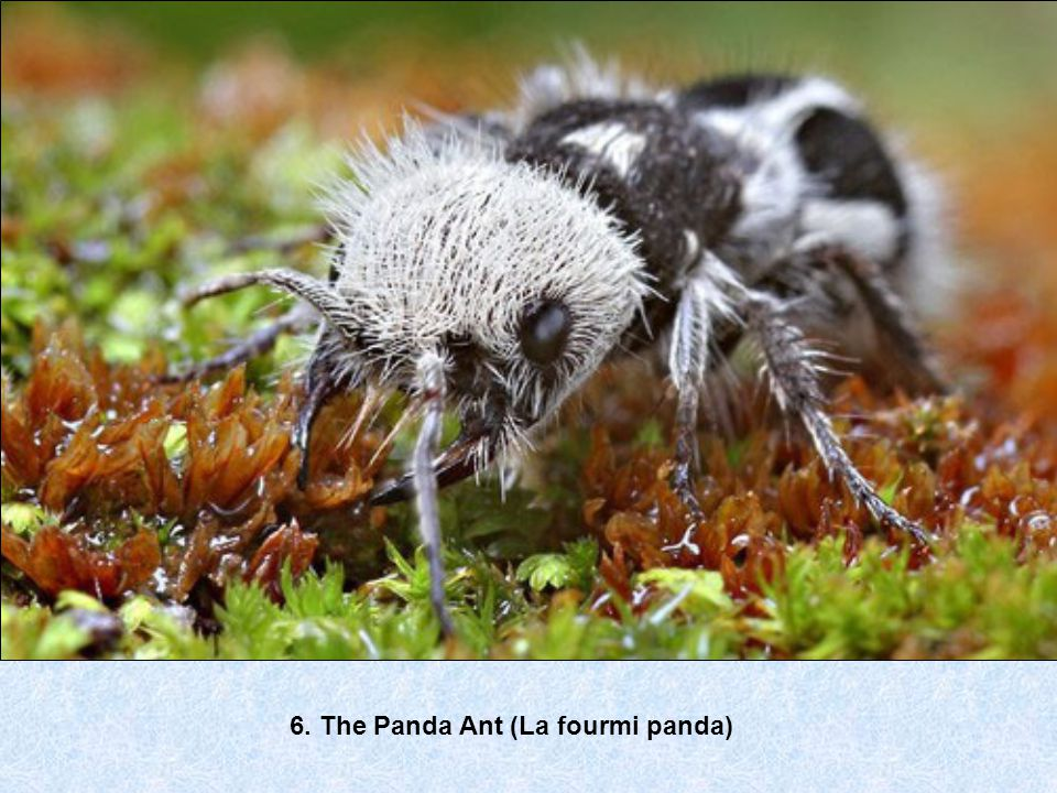 6. The Panda Ant (La fourmi panda)