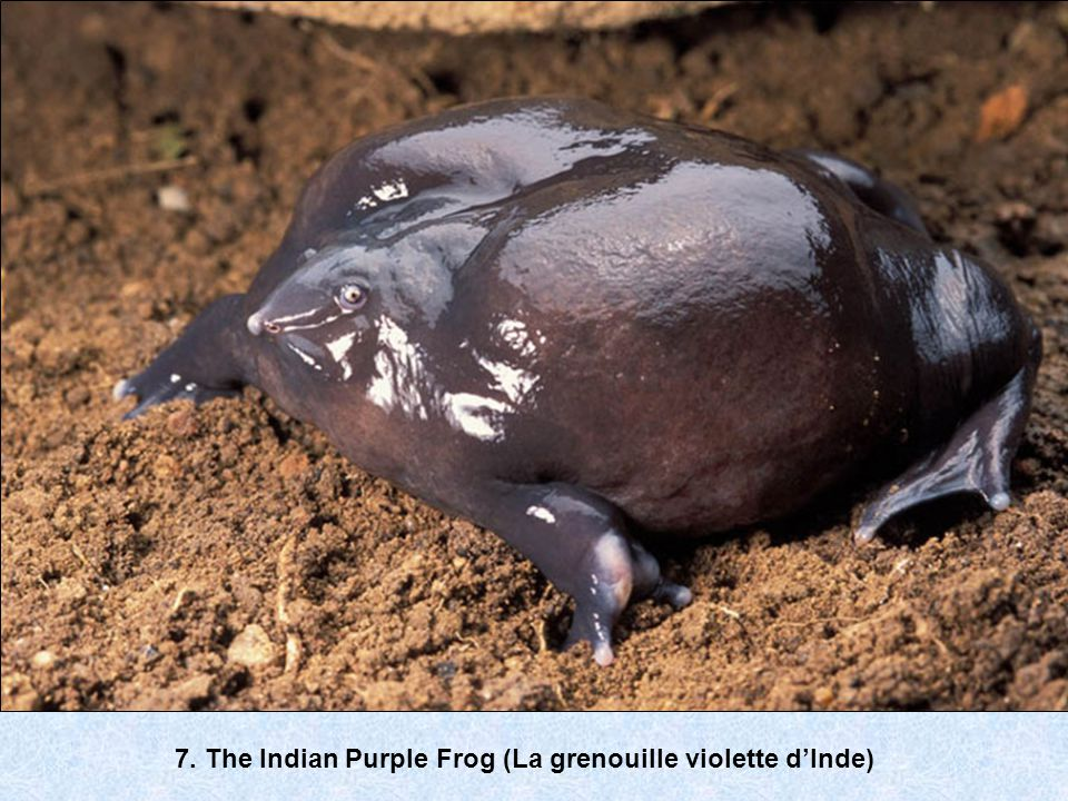 7. The Indian Purple Frog (La grenouille violette d'Inde)