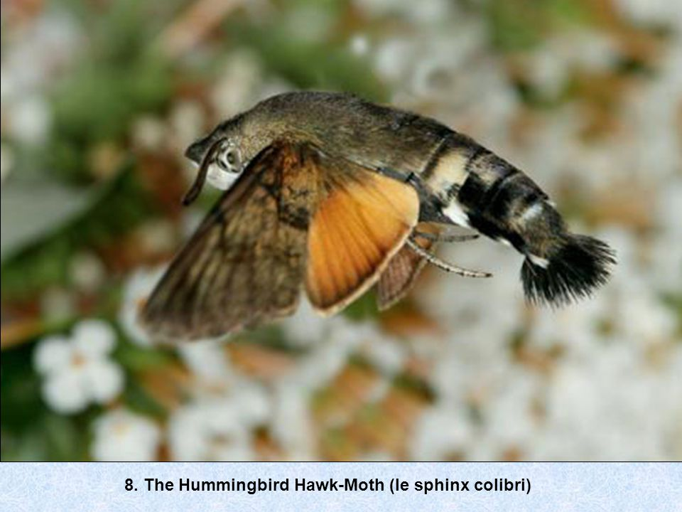 8. The Hummingbird Hawk-Moth (le sphinx colibri)