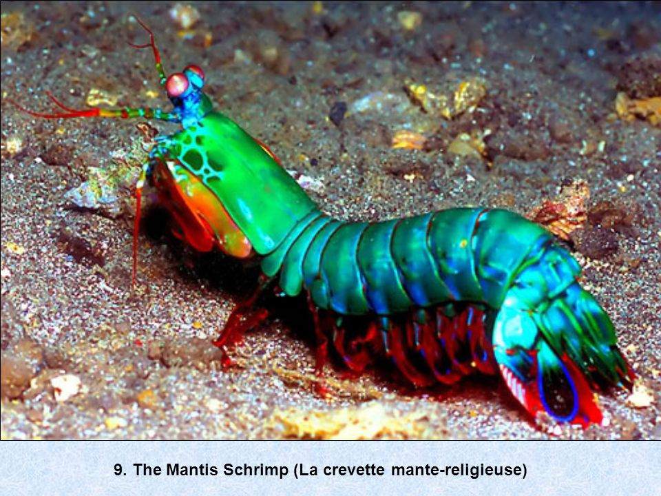 9. The Mantis Schrimp (La crevette mante-religieuse)