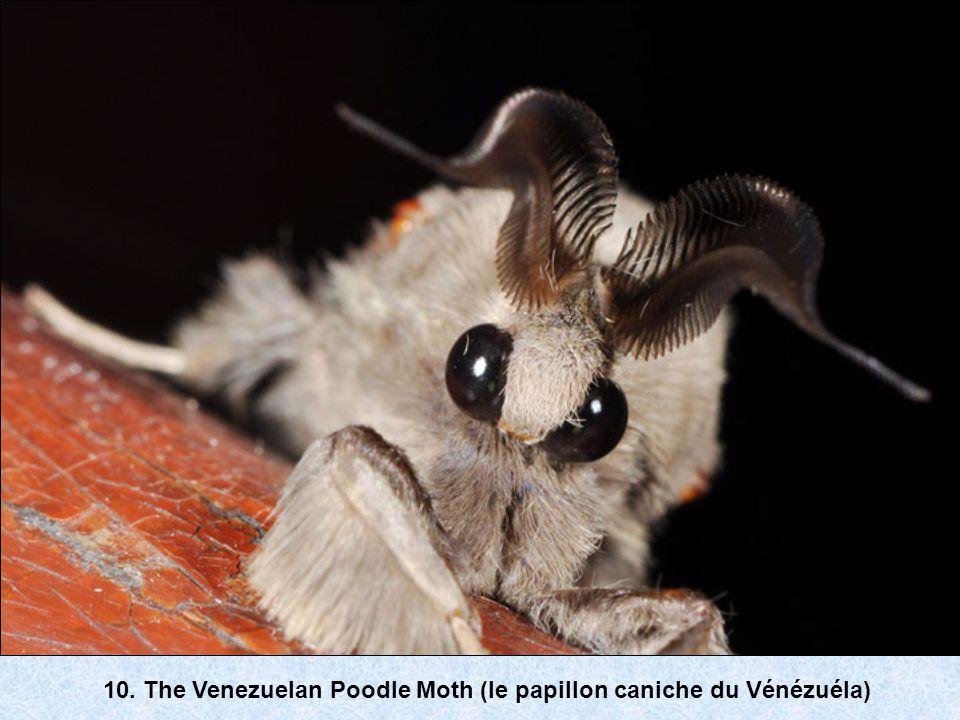 10. The Venezuelan Poodle Moth (le papillon caniche du Vénézuéla)