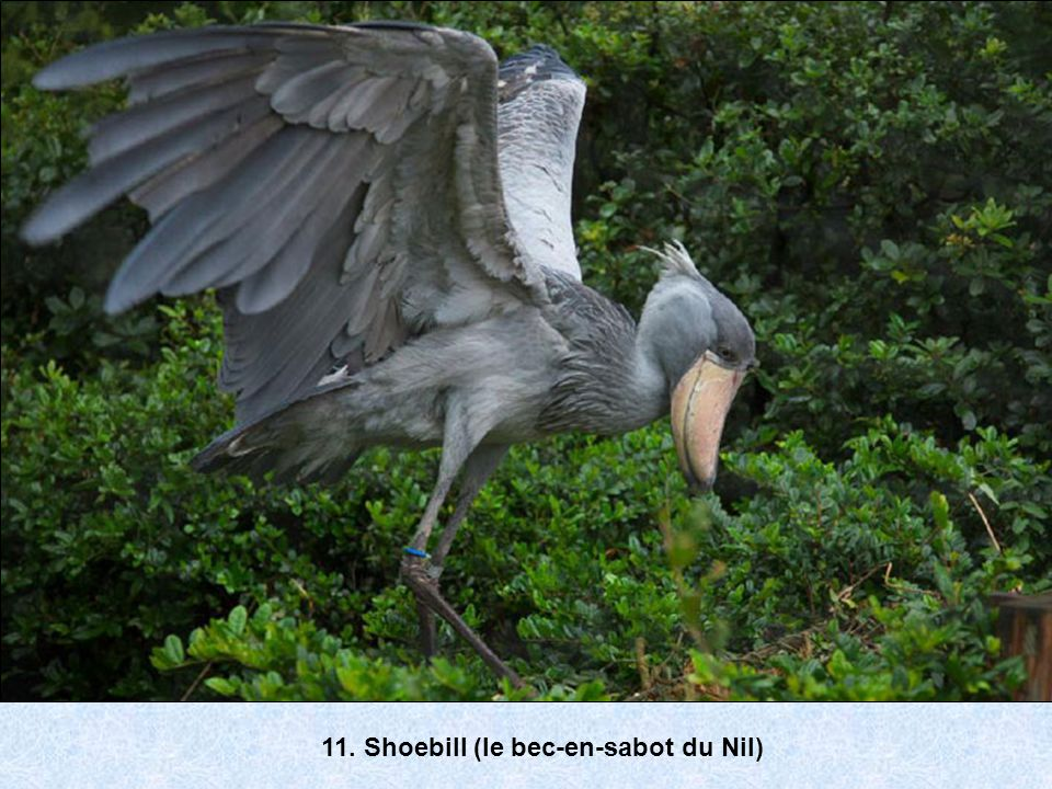 11. Shoebill (le bec-en-sabot du Nil)