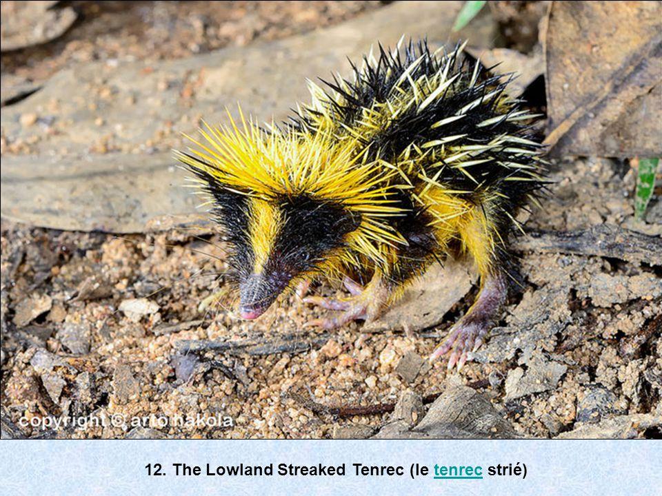 12. The Lowland Streaked Tenrec (le tenrec strié)