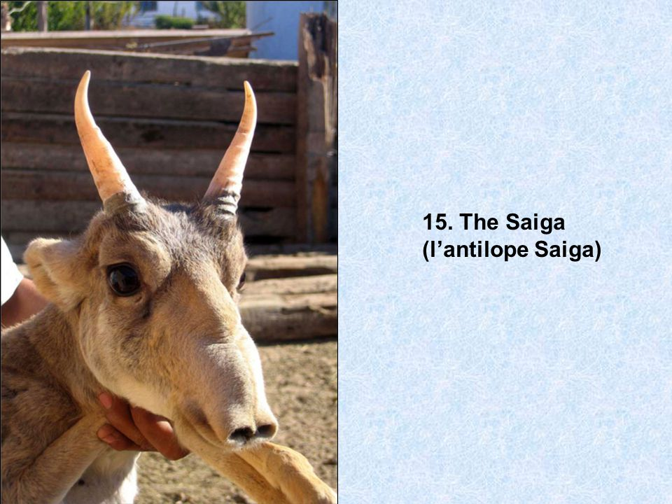 15. The Saiga (l'antilope Saiga)