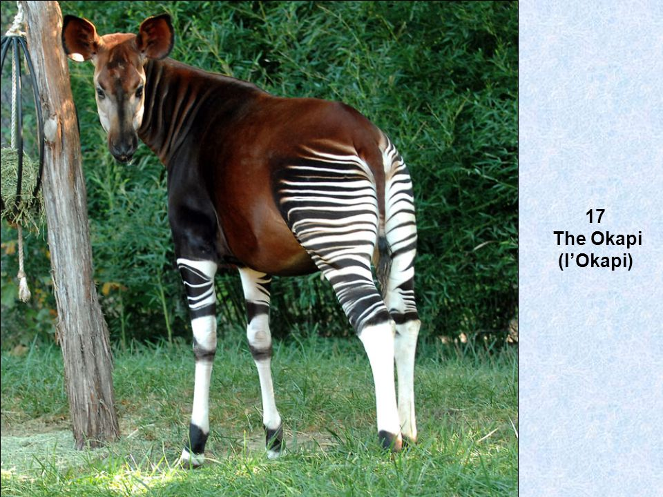 17 The Okapi (l'Okapi)