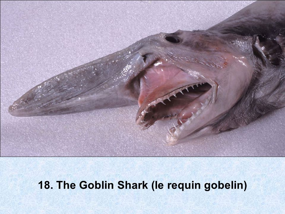 18. The Goblin Shark (le requin gobelin)