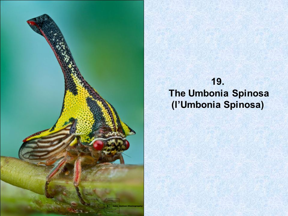 19. The Umbonia Spinosa (l'Umbonia Spinosa)