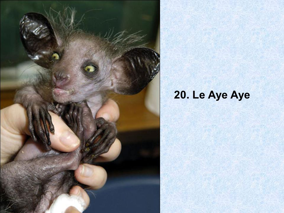 20. Le Aye Aye