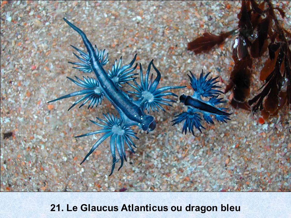 21. Le Glaucus Atlanticus ou dragon bleu