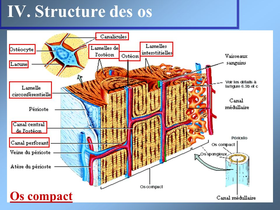 IV. Structure des os Os compact