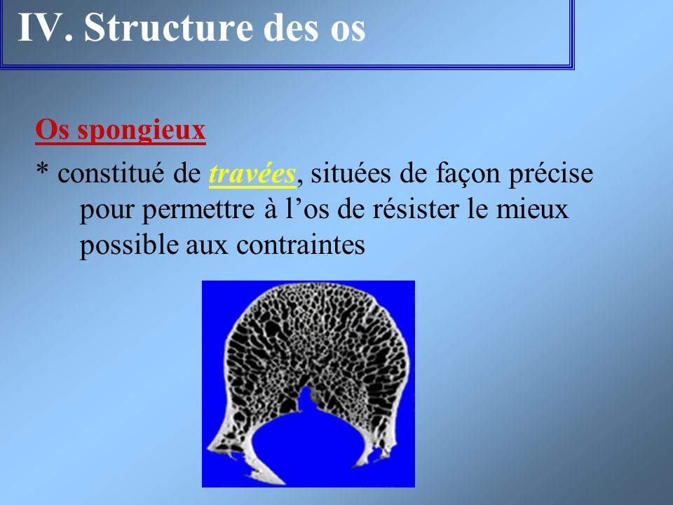 IV. Structure des os Os spongieux