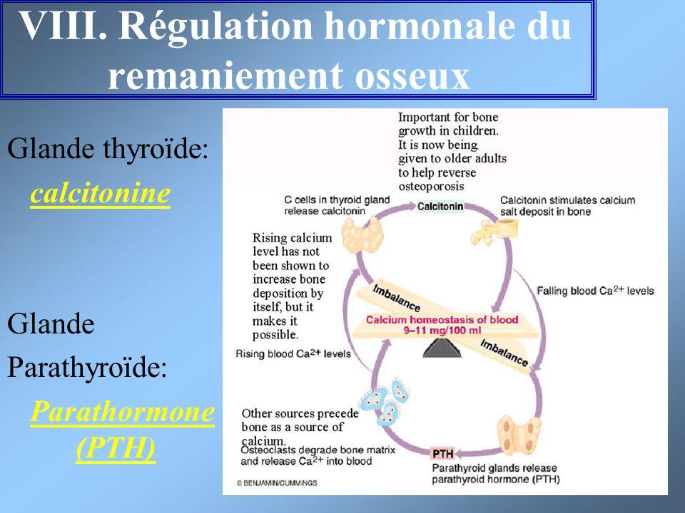 VIII. Régulation hormonale du remaniement osseux