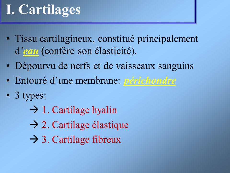 I. Cartilages Tissu cartilagineux, constitué principalement d'eau (confère son élasticité). Dépourvu de nerfs et de vaisseaux sanguins.