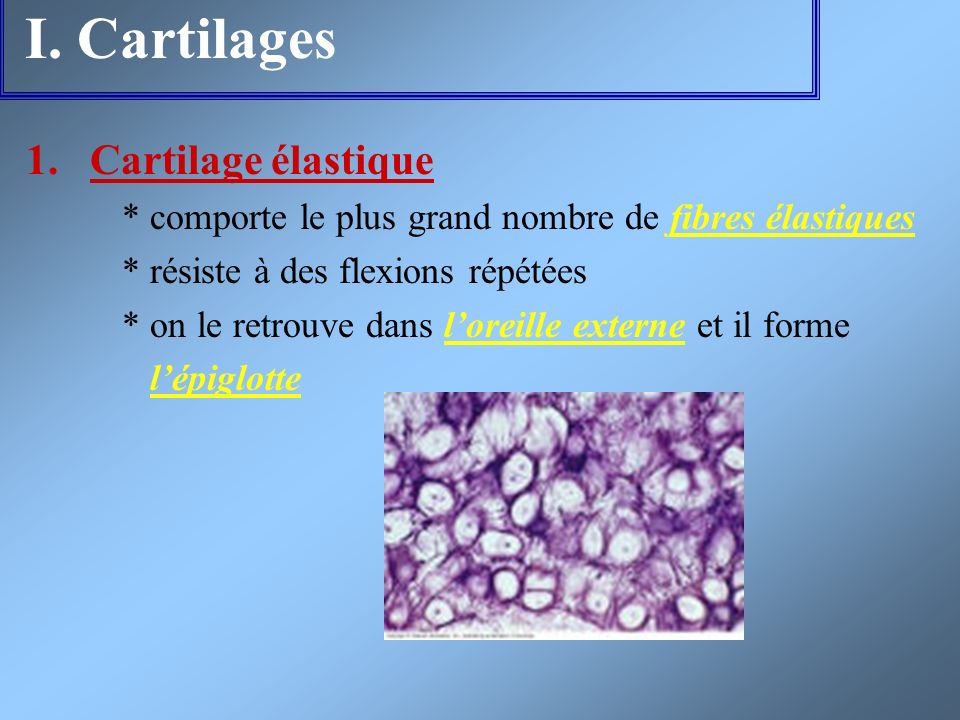 I. Cartilages Cartilage élastique