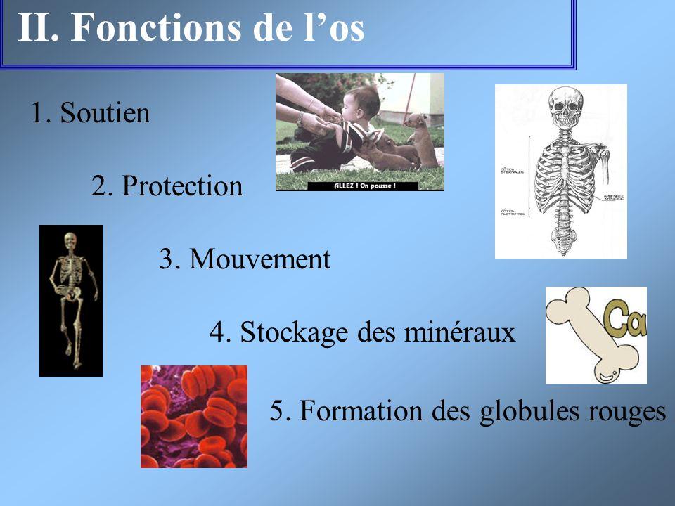II. Fonctions de l'os 1. Soutien 2. Protection 3. Mouvement