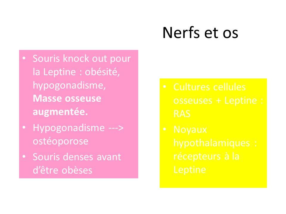 Nerfs et os Souris knock out pour la Leptine : obésité, hypogonadisme, Masse osseuse augmentée. Hypogonadisme ---> ostéoporose.