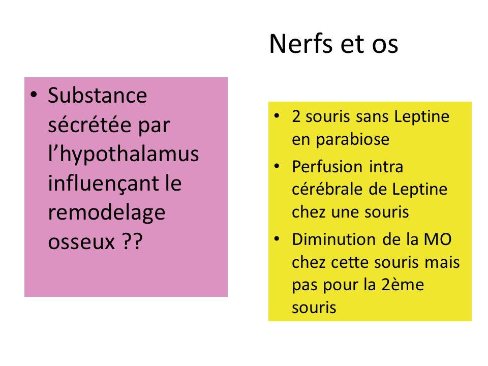 Nerfs et os Substance sécrétée par l'hypothalamus influençant le remodelage osseux 2 souris sans Leptine en parabiose.