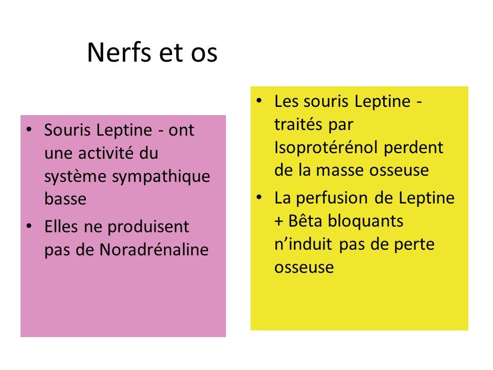 Nerfs et os Les souris Leptine - traités par Isoprotérénol perdent de la masse osseuse.
