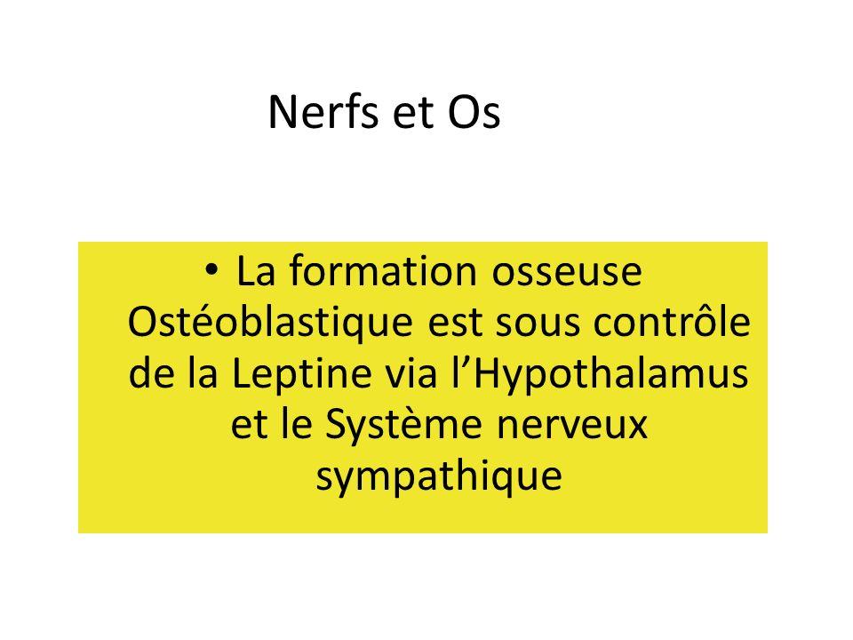 Nerfs et Os La formation osseuse Ostéoblastique est sous contrôle de la Leptine via l'Hypothalamus et le Système nerveux sympathique.