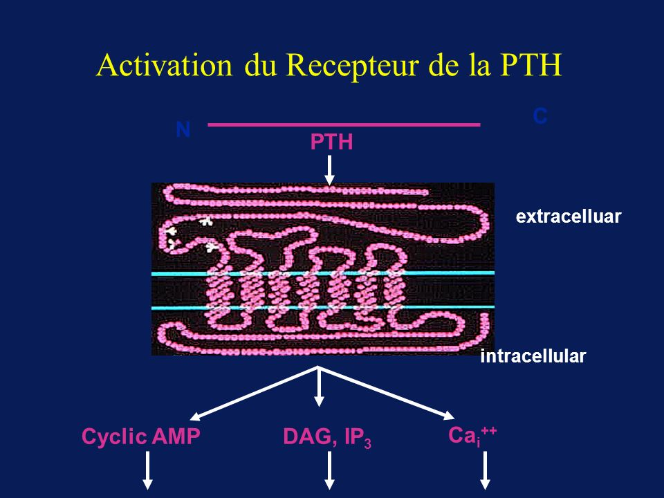 Activation du Recepteur de la PTH
